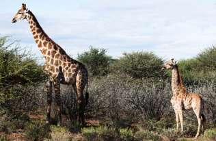 Pierwsze żyrafy karłowate zauważone w Ugandzie i Namibii