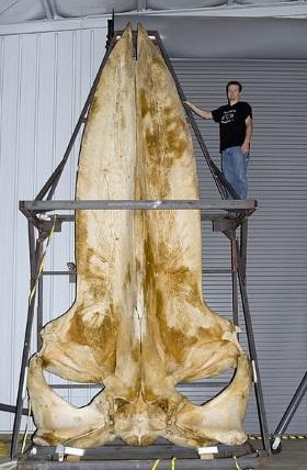 Czaszka Płetwala Błękitnego. Fot. Sklmsta/Wikicommons