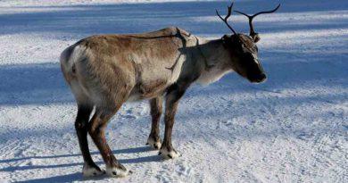 Zmiany klimatu dotknęły populację reniferów