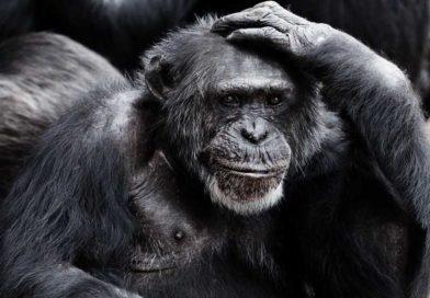 Szympansy rozpoznają się popośladkach równie dobrze, jak ludzie potwarzach