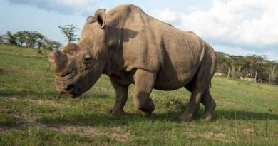 Ostatni samiec nosorożca walczy ogatunek na… portalu randkowym