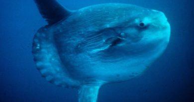 Odkryto nowy gatunek ryby, którejwaga może dochodzić dodwóch ton