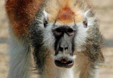 Nowy gatunek małpy zfantazyjnym wąsem