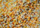 Kukurydza GMO jest zdrowa? Kompilacja danych zponad 6 tys. badań